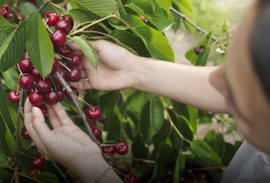Central Asian cherries well received in China