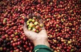 Buy 50 cases of Ethiopian coffee