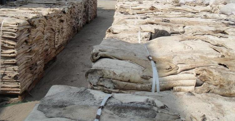 Salted Camel Hides