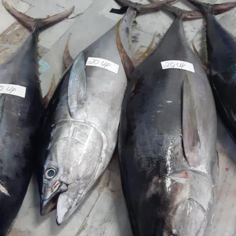 Supply Yellow fin tuna fish seafood
