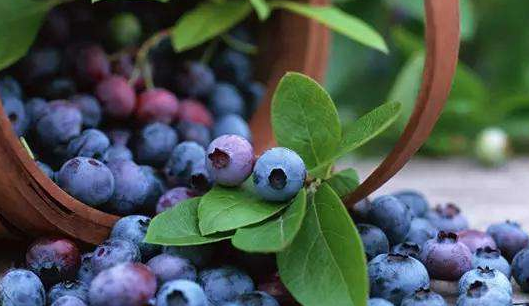 China opens doors to Zambian blueberries | FOOD2CHINA NEWS