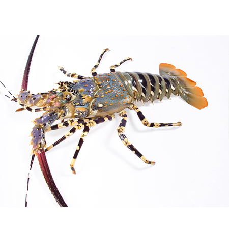 Buy frozen Boston lobster, Australian lobster, Cuban lobster and other imported lobsters