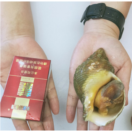Supply imported conch, Atlantic conch, seafood, frozen aquatic products