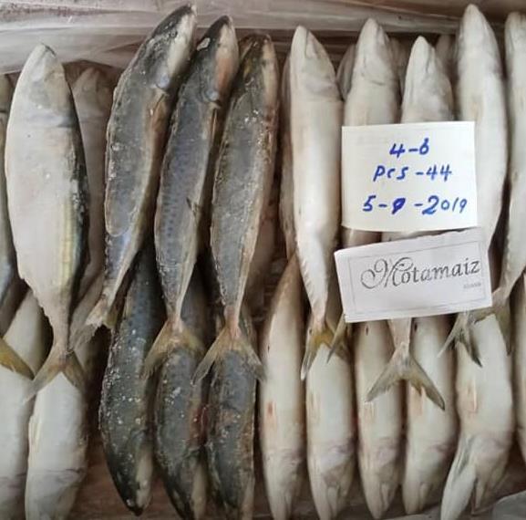 Supply Loading Frozen Indian Mackerel (Motamaiz Brand) Seafood fish
