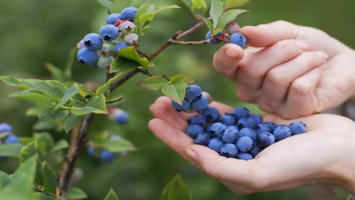 September/October Considered Golden Period for US Blueberries in China | FOOD2CHINA news
