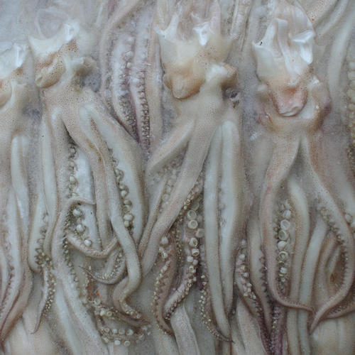 Purchase frozen squid imported seafood from Argentina