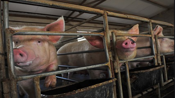 High pork price benefits hog breeders amid ASF concern | FOOD2CHINA NEWS