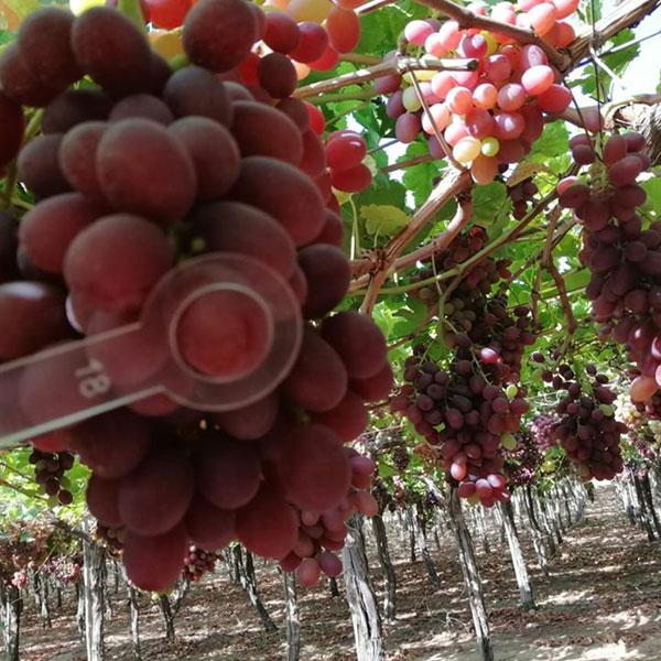 Offer Egyptian Sweet Fresh Grape Fruit