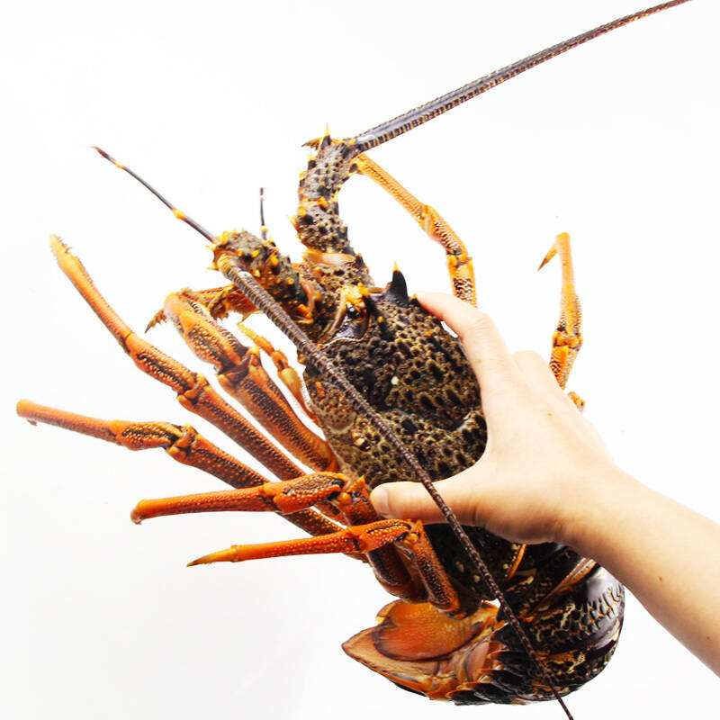 Supply lobster from Austrilia