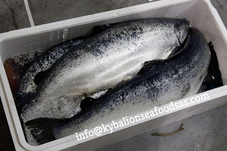 Salmon fish H/O, Gutted Fresh/Frozen